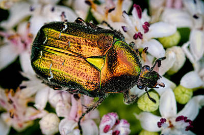 Photograph - Rose Chafers by Zoran Buletic