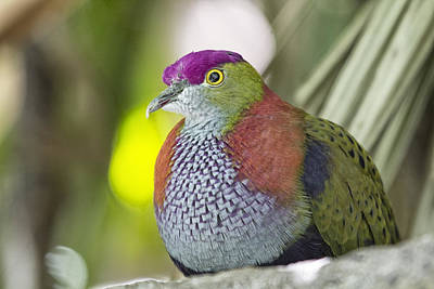 Dove Photograph - Rose-crowned Fruit Dove by Douglas Barnard