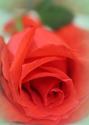 Rose D' Amour Art Print