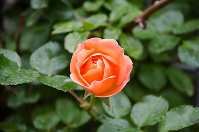 Photograph - Orange Rose by Dany Lison