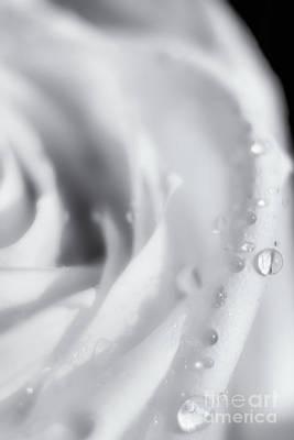 Photograph - Rose Dreams by Julie Clements