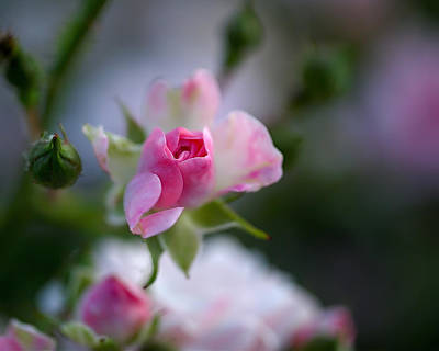 Photograph - Rose Emergent by Rona Black