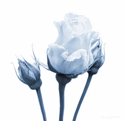 Photograph - Rose Flower Bud In Blue by Jennie Marie Schell