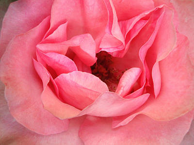 Photograph - Rose Fragrance by Natalie Holland