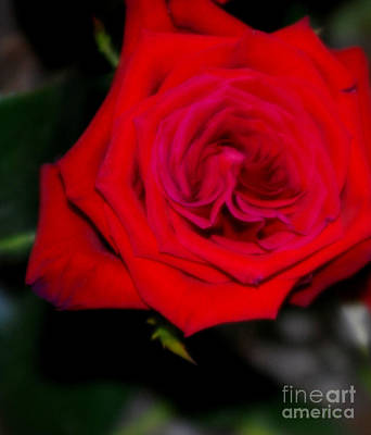 Photograph - Special Rose For  Valentines Day. Rose. Hearts by Oksana Semenchenko