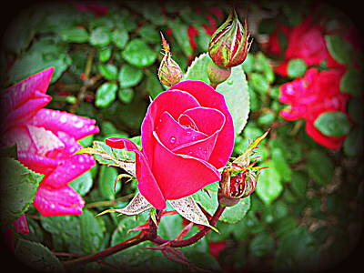 Photograph - Rose Garden Centerpiece 2 by Pamela Hyde Wilson