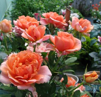 Photograph - Rose Garden In June by Judyann Matthews