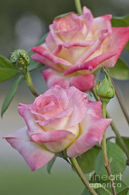 Photograph - Rose Garden by Jim And Emily Bush