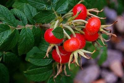 Photograph - Rose Hips by Dakota Light Photography By Dakota