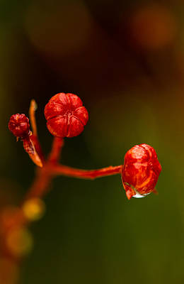 Photograph - Rose Hips by Haren Images- Kriss Haren