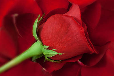 Red Photograph - Rose II by Andreas Freund