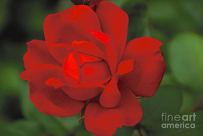 Photograph - Rose In Bloom by William Norton