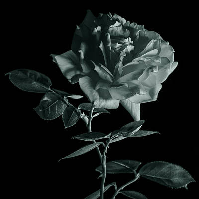 Rose In Monochrome Art Print by Vishwanath Bhat