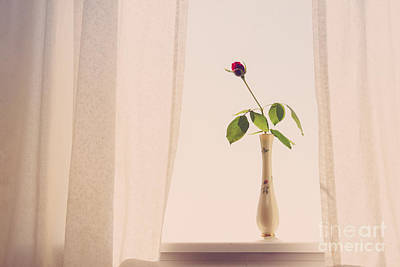 Roses Royalty-Free and Rights-Managed Images - Rose in the Window by Diane Diederich