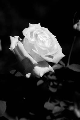 Photograph - Rose - Infrared by Pamela Critchlow