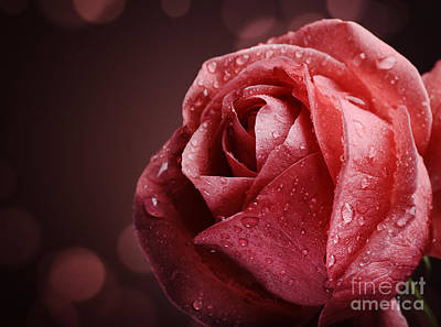 Roses Royalty-Free and Rights-Managed Images - Rose by Jelena Jovanovic