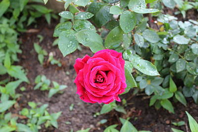 Photograph - Rose by John Mathews