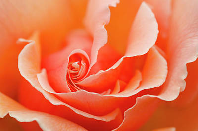 Rosaceae Photograph - Rose 'just Joey' Creative Abstract by Nigel Downer