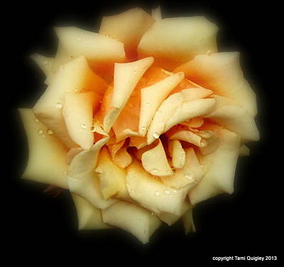 Photograph - Rose Light by Tami Quigley