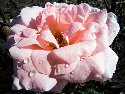 Flowers Photograph - Rose Like Silk With Dew by Zina Stromberg