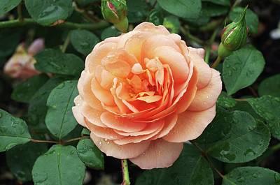 Clements Photograph - Rose Louise Clements (rosa 'clelou') by Neil Joy