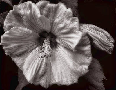 Photograph - Rose Mallow Bloom by Louise Kumpf