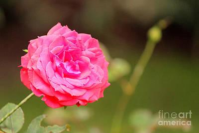 Lady Bug - Rose by Manuel Bonilla Photography