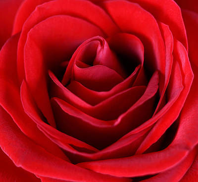 Emotive Photograph - Rose  by Mark Ashkenazi