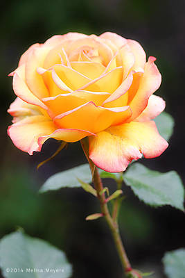 Photograph - Rose by Melisa Meyers