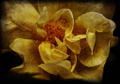Photograph - Rose by Mikael Carstanjen