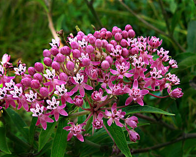 Photograph - Rose Milkweed by William Tanneberger