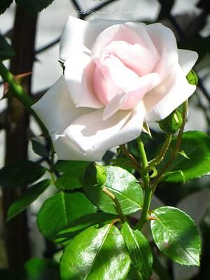 Rose Named Pearl Art Print by Sonali Gangane