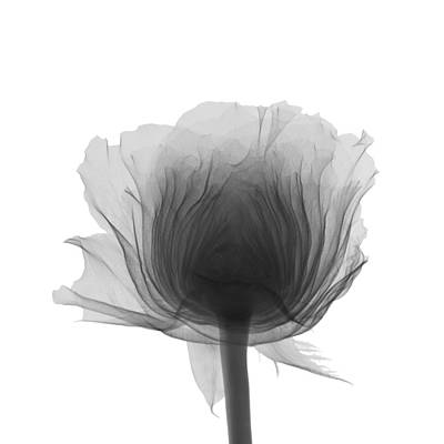 Photograph - Rose by Nick Veasey