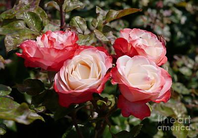 Rose Nostalgia  Original by John Chatterley