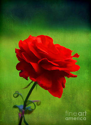 Rose Of Love Art Print by Darren Fisher