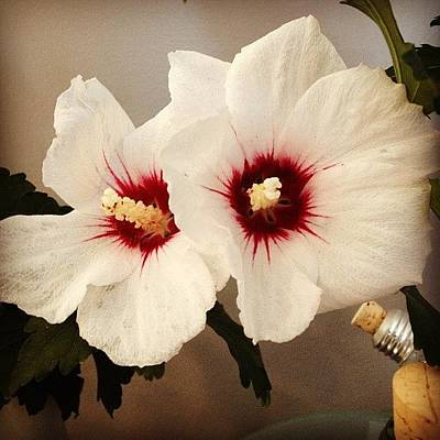 White Photograph - Rose Of Sharon by Christy Beckwith