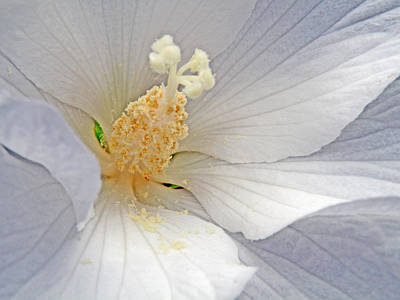 Rose Of Sharon Tree Photograph - Rose Of Sharon by Jean Hall