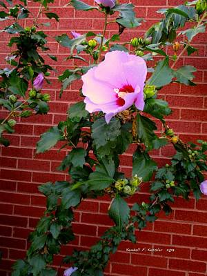 Photograph - Rose Of Sharon by Kendall Kessler