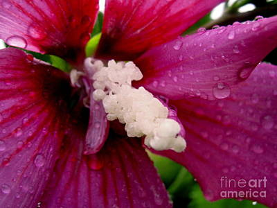 Photograph - Rose Of Sharon Wet by Margaret Newcomb