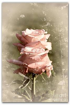 Designs In Nature Photograph - Rose Old-fashioned by Stefano Senise