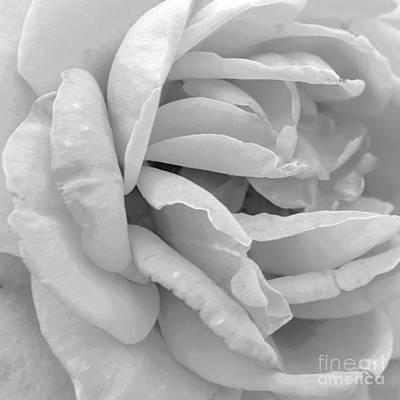 Photograph - Rose by Olga Hamilton