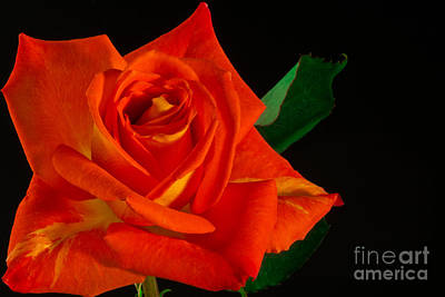 Rose On Fire Art Print