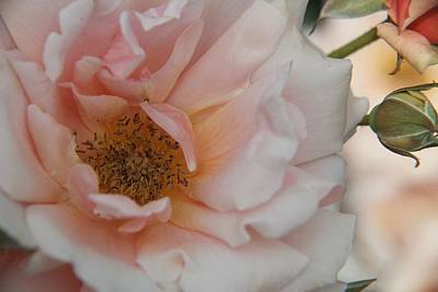 Rose - One Of A Kind Art Print by Dervent Wiltshire
