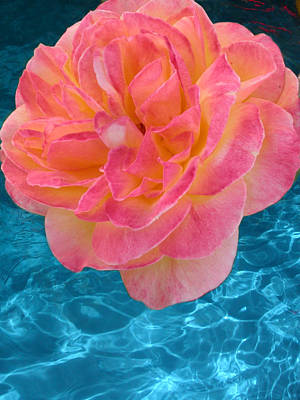 Photograph - Rose Over Blue by Anne Cameron Cutri