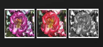 Photograph - Rose Panel In Three Hues by SC Heffner