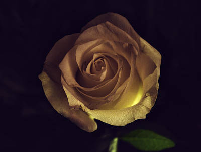 Photograph - Rose by Paul Camhi