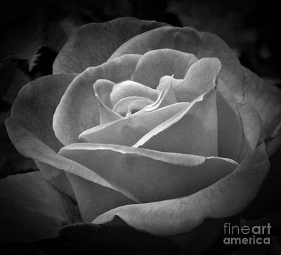 Photograph - Rose Perfection Monochrome by Chalet Roome-Rigdon