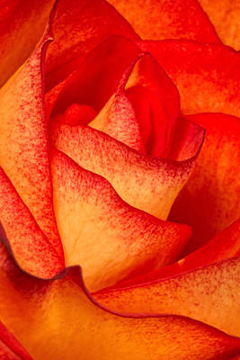 Nature Photograph - Rose Petals by Dawn Currie