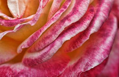 Photograph - Rose Petals by Michael McGowan