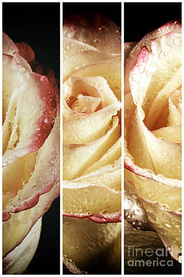 Photograph - Rose Petals Panels by John Rizzuto